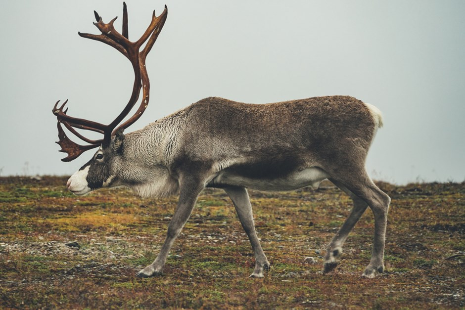 One reindeer walking over Flatruet during the Autumn season.