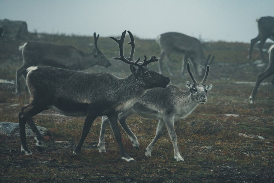 Reindeer walking over Flatruet.